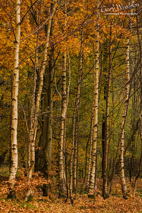 Birch trees. Landscape photography by Gary Waidson.
