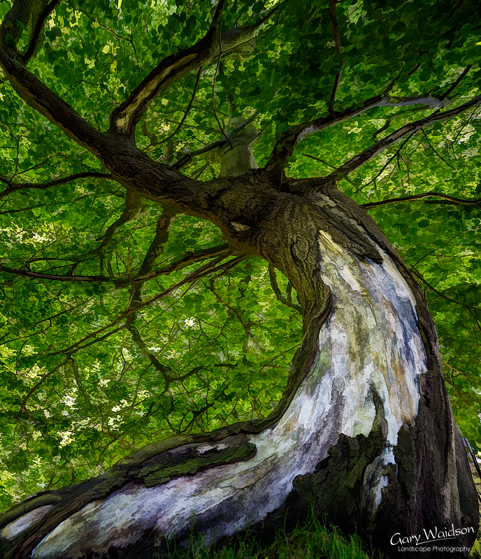 Dunham Tree Artwork. Fine Art Landscape Photography by Gary Waidson