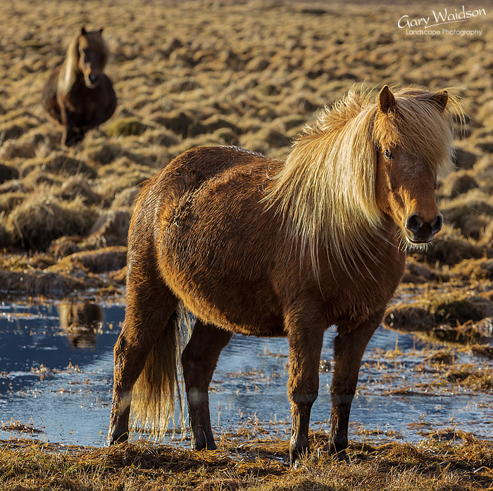 Icelandic Horses, Iceland - Photo Expeditions - © Gary Waidson - All Rights Reserved